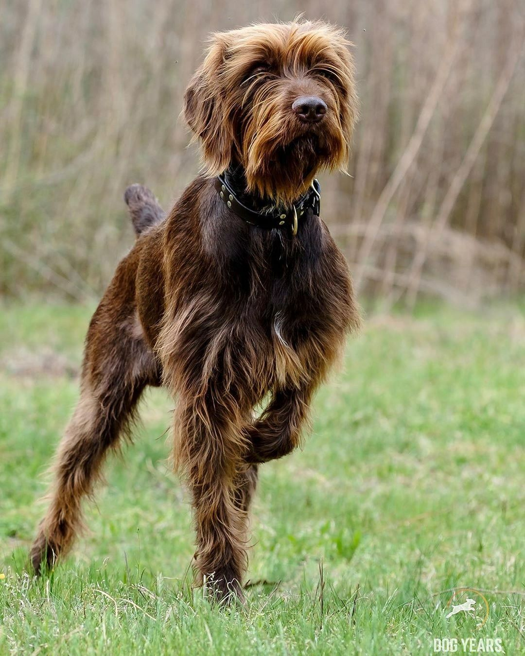 Pudelpointer puppies for sale 2020