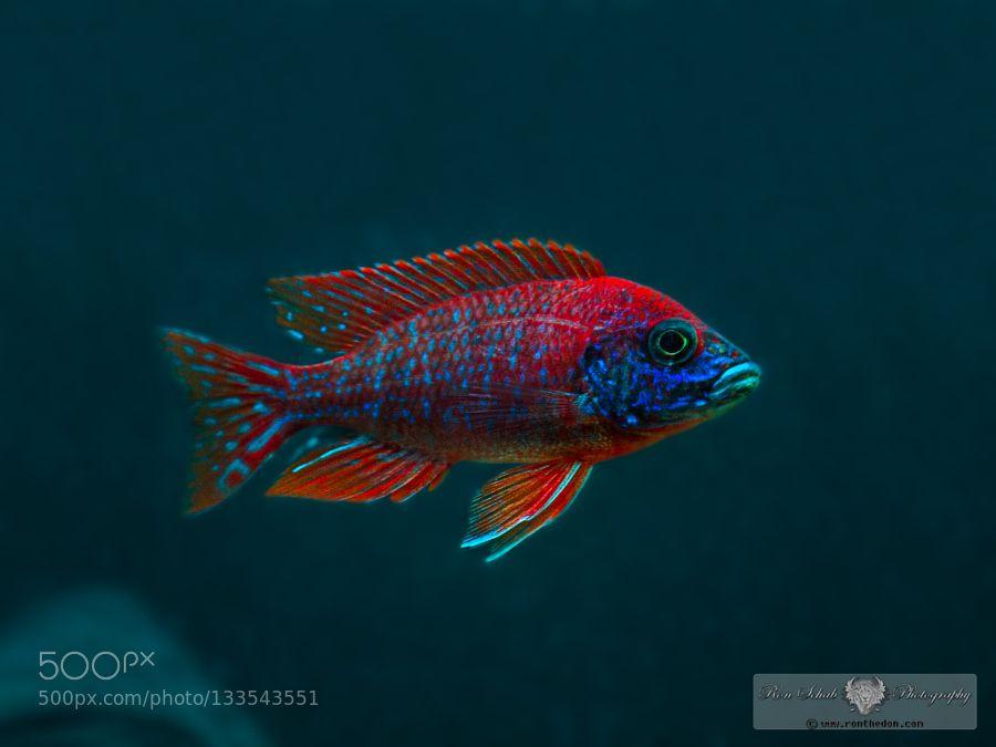 Lifeunderthewaves African Cichlid Aquarium Cichlid Aquarium Cichlid Fish