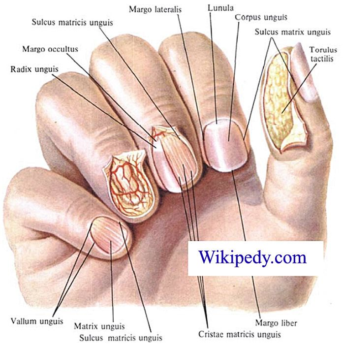 Nail Diagram Bing Images Biology In 2019 Pinterest Nails