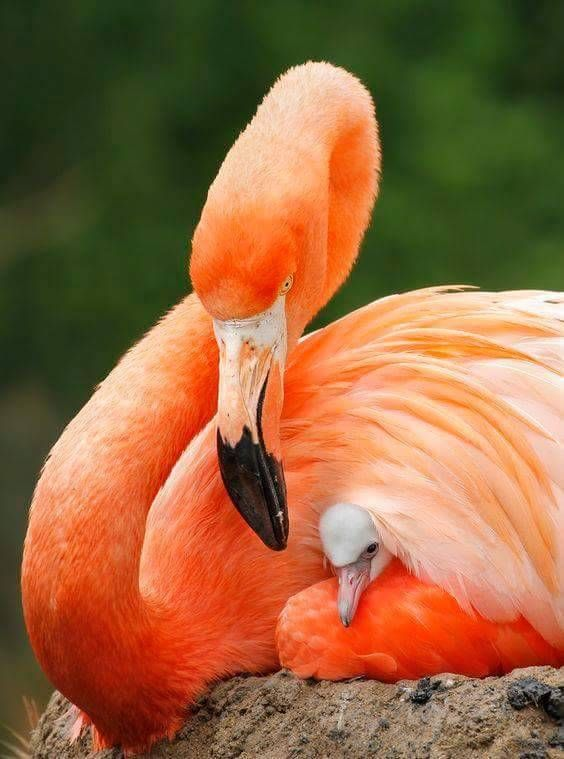 Flamingo with Baby
