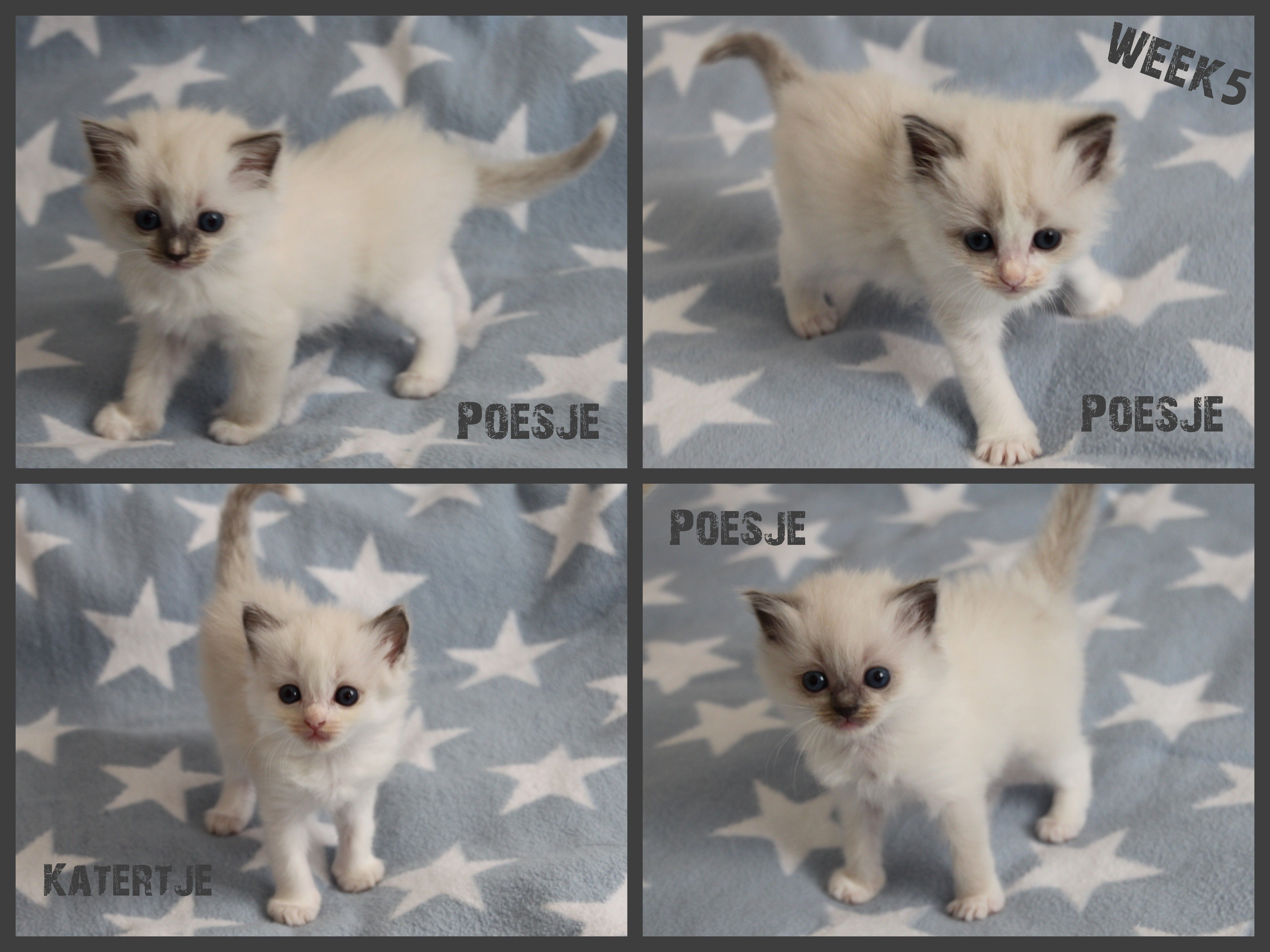 Ragdoll Kittens 5 Weeks Old For More Information Go To Www Ribbonsragdolls Com Awww Precious Kittens Cats Animals