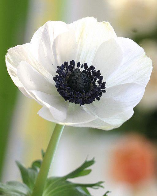 White Anemone Flower White Anemone Flower Flowers Anemone Flower