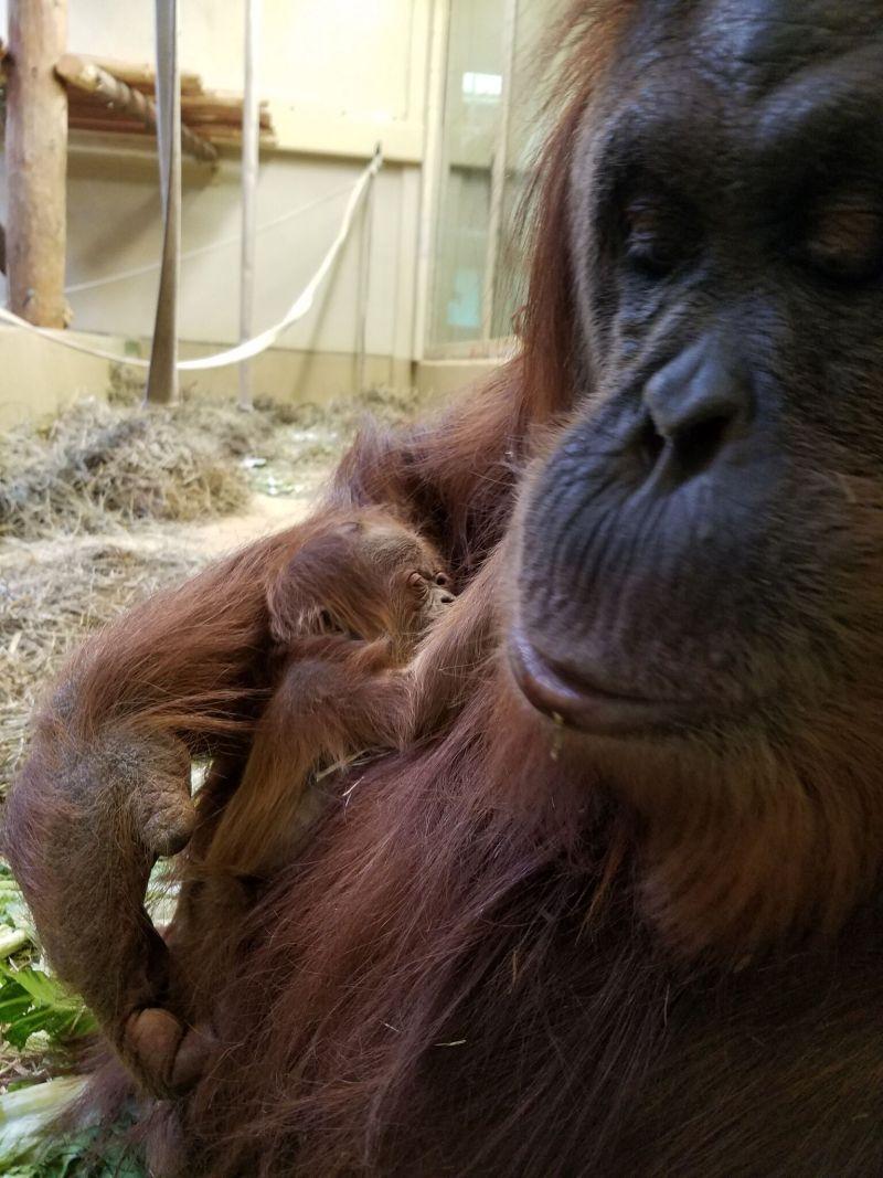 Sumatran Orangutan Zooborns, Baby animals pictures