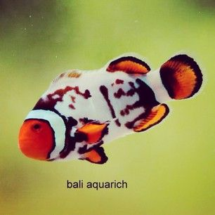 Clownfish Varieties Continue To Develop Into Spectacular Morphs Such As This Smoky Percula From Bali Baliaqu Clown Fish Marine Fish Saltwater Fish Tanks
