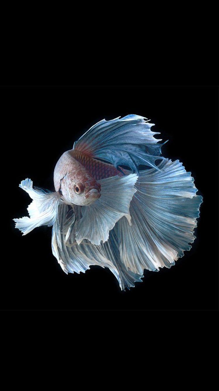 Apple iphone 6s wallpaper with silver albino betta fish in for Prettiest betta fish
