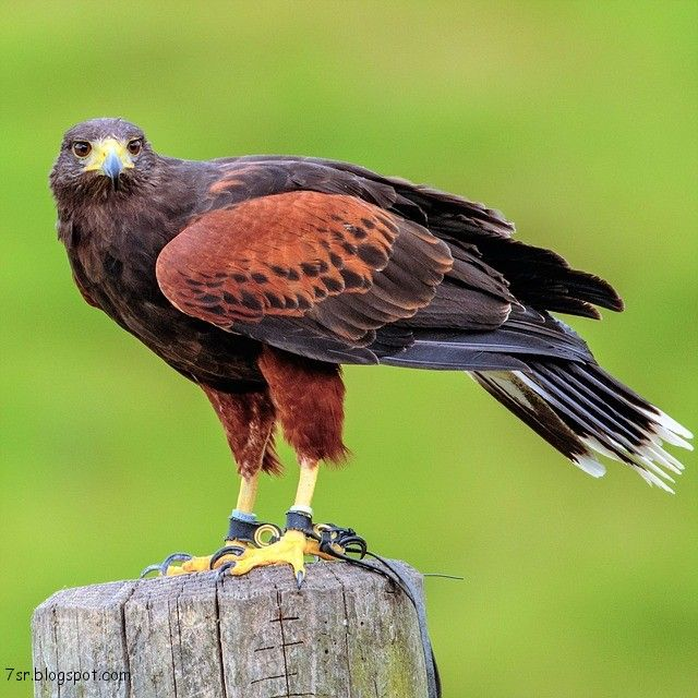 صور صقر خلفيات صقور Hd وبعض المعلومات عن الصقور Animals Harris Hawk Hunting