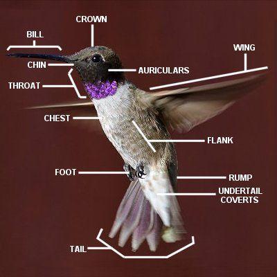 Hummingbirds Plus - Feeding, News, Study Group & More