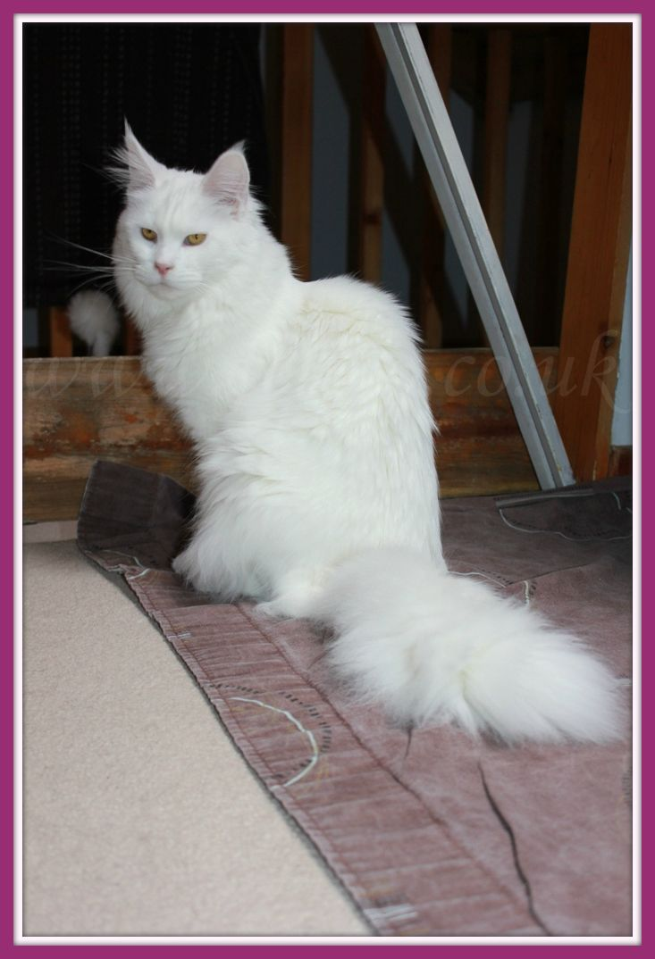 Pin On Adoreable Maine Coons