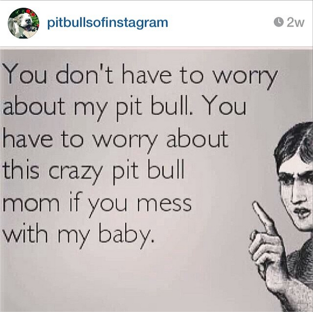 The 24 Most Annoying Pit Bull Memes | Betabeat