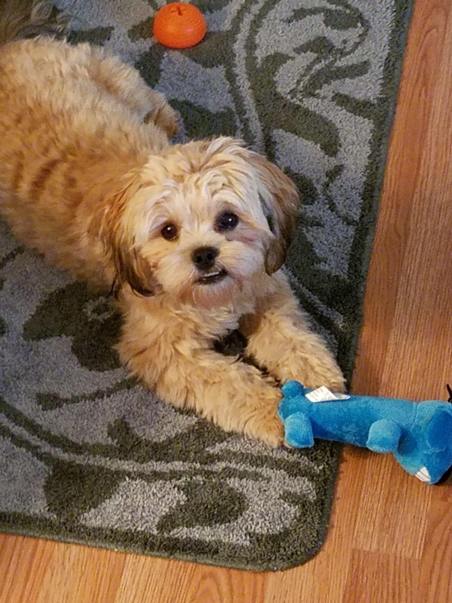 Shorkie Poo Puppies : shorkie, puppies, Shorkie, Ideas, Dogs,, Yorkie,, Yorkie