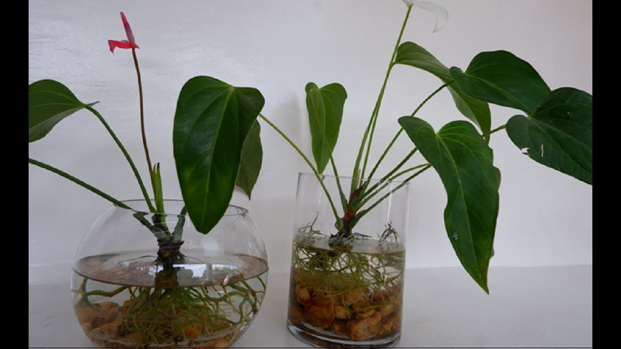 How To Grow And Care Anthurium Plants In Water Anthurium In Glass Vase In 2020 Anthurium Plant Anthurium Water Plants