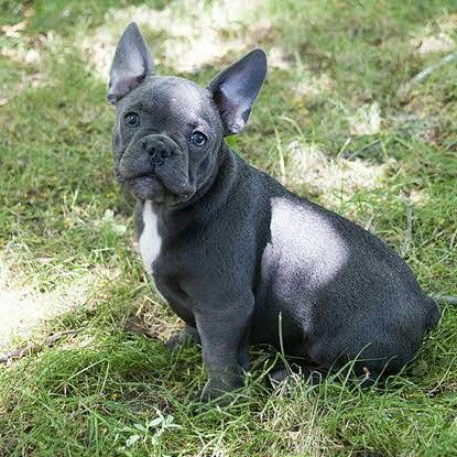 For Sale Batpig Will Solid Blue Boy With Wonderful Character And