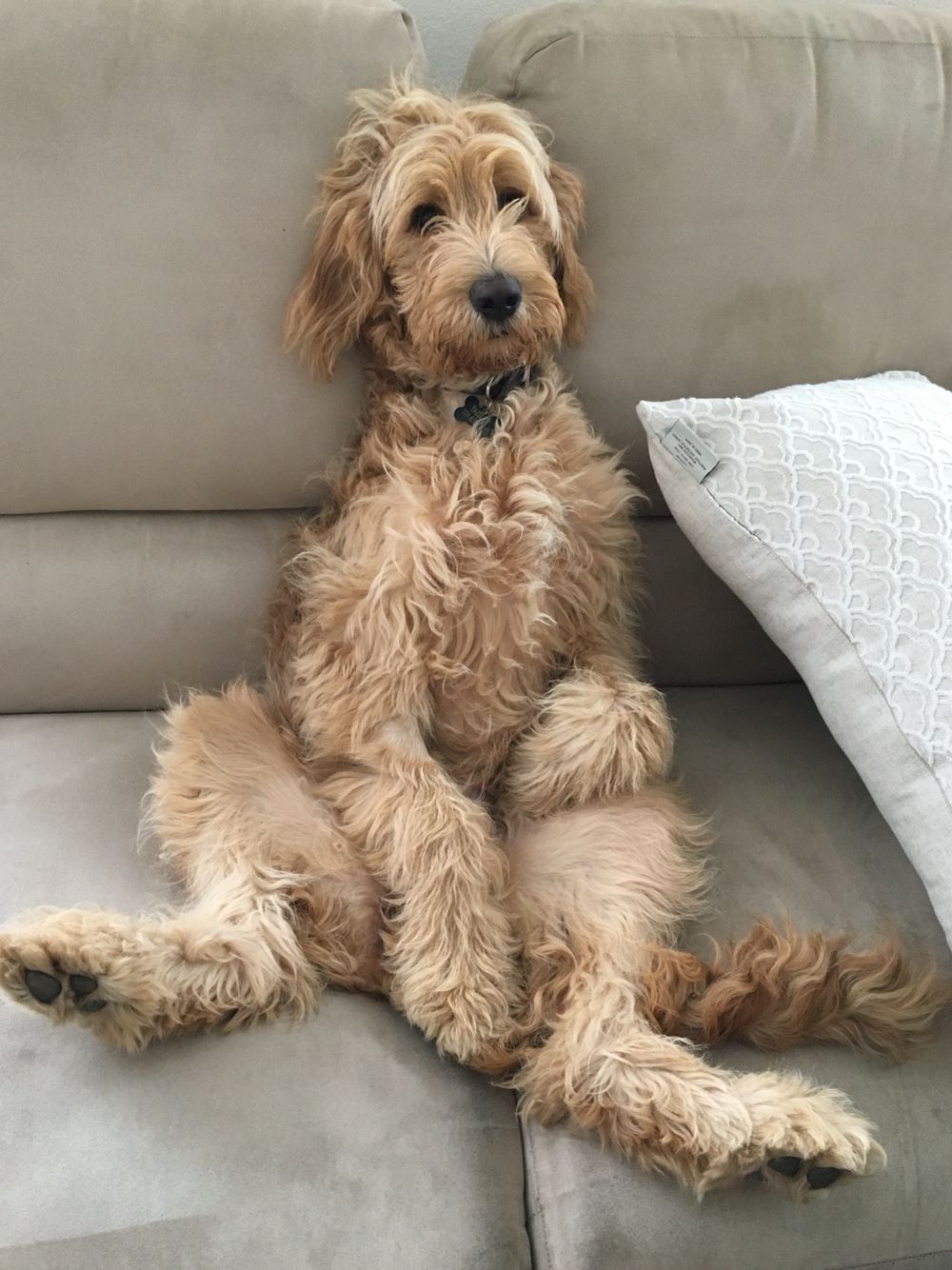 F2 Goldendoodle Paisley Goldendoodle Full Grown
