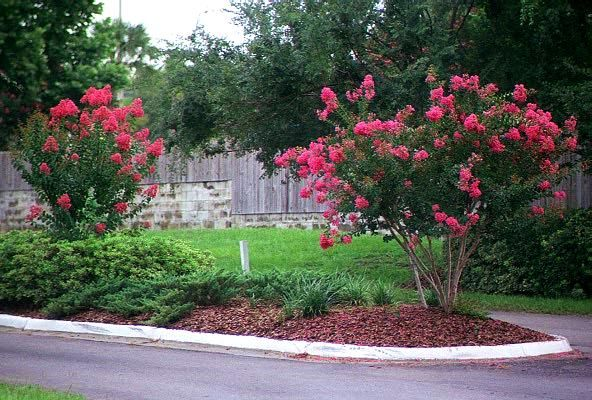 We Are The Original Inventors Of The Patented Miniature Crape Myrtle And Have Specialized In Online Sales For Over 2 Crape Myrtle Plants Front Yard Landscaping