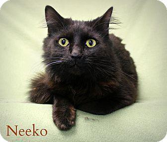 Melbourne Ky Domestic Mediumhair Meet Neeko A Cat For Adoption Cat Adoption Pet Adoption Cats