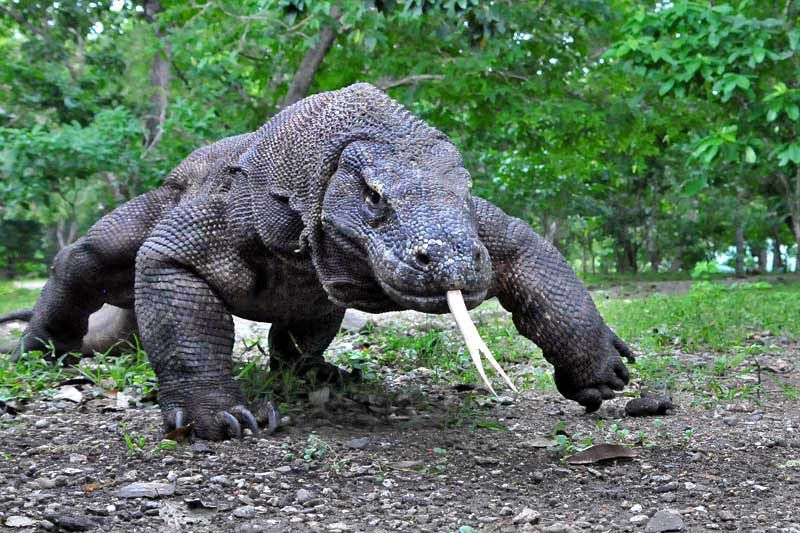 Komodo dragon, such a beautiful, fascinating and cool animal.