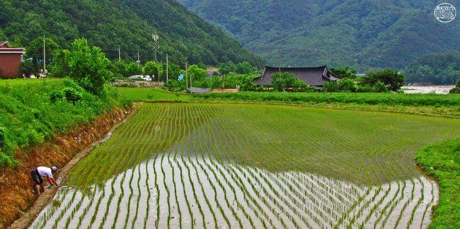 A Korean Rice Paddy Field In Summer Korean Rice Travel Magazines Travel