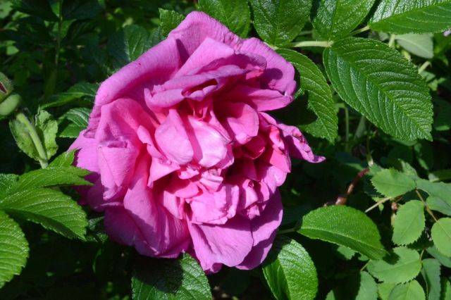 Ruusu on Pohjolan kaunotar