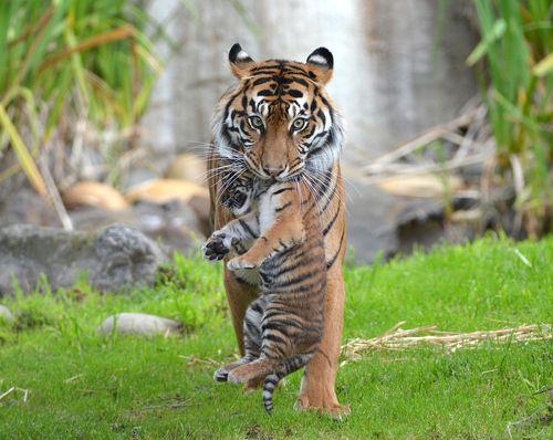Sumatran Tiger with cub by Josh Norem