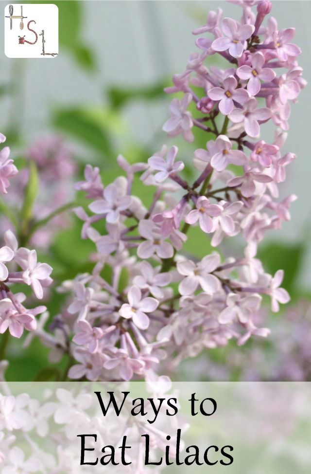 Ways to eat lilacs spring flowers lilacs and flower make the most of showy and edible spring flowers with these 12 ways to eat lilacs mightylinksfo