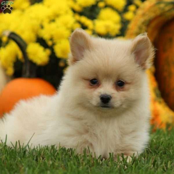Puddles Dalmatian Puppy For Sale In Pennsylvania Pomeranian