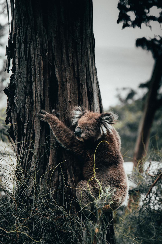 Animal, wildlife, australia and koala HD photo by Kevin