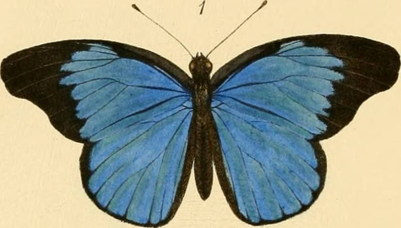 Identifier: rhopaloceraexoti03smit Title: Rhopalocera exotica ; being illustraions of new, rare, and unfigured species of butterflies Year: 1887 (1880s)