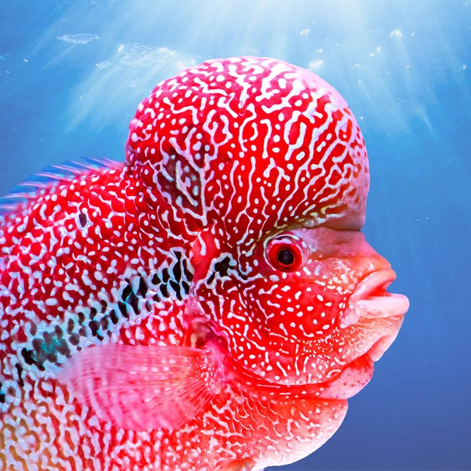 This is the Flowerhorn Cichlid, a territorial hybrid known for its ...