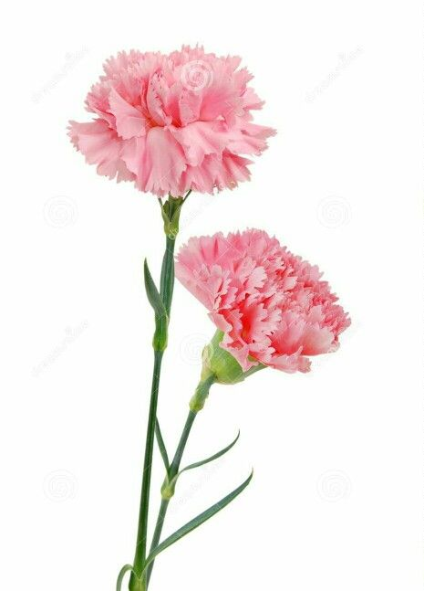 Foursquare In 2020 Carnation Flower Watercolor Flowers Flowers