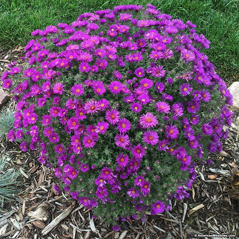 Purple dome new england aster aster late summer and wildflowers aster purple dome boasts the rich purple color of the famous wildflower found mightylinksfo