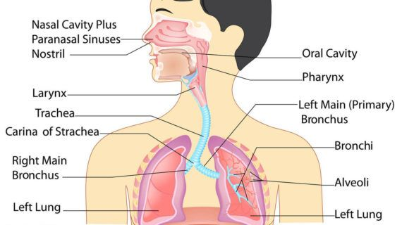 Full Image Of Respiratory System Anatomy Of The Respiratory System ...