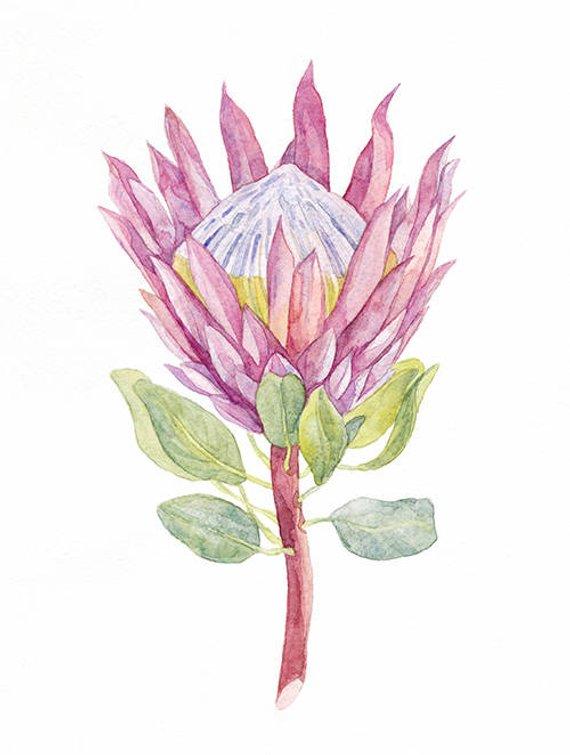 Pink Protea Flower Watercolor Illustration Digital Art Watercolor Clipart Digital Prints Weddin Watercolor Illustration Botanical Drawings Protea Flower