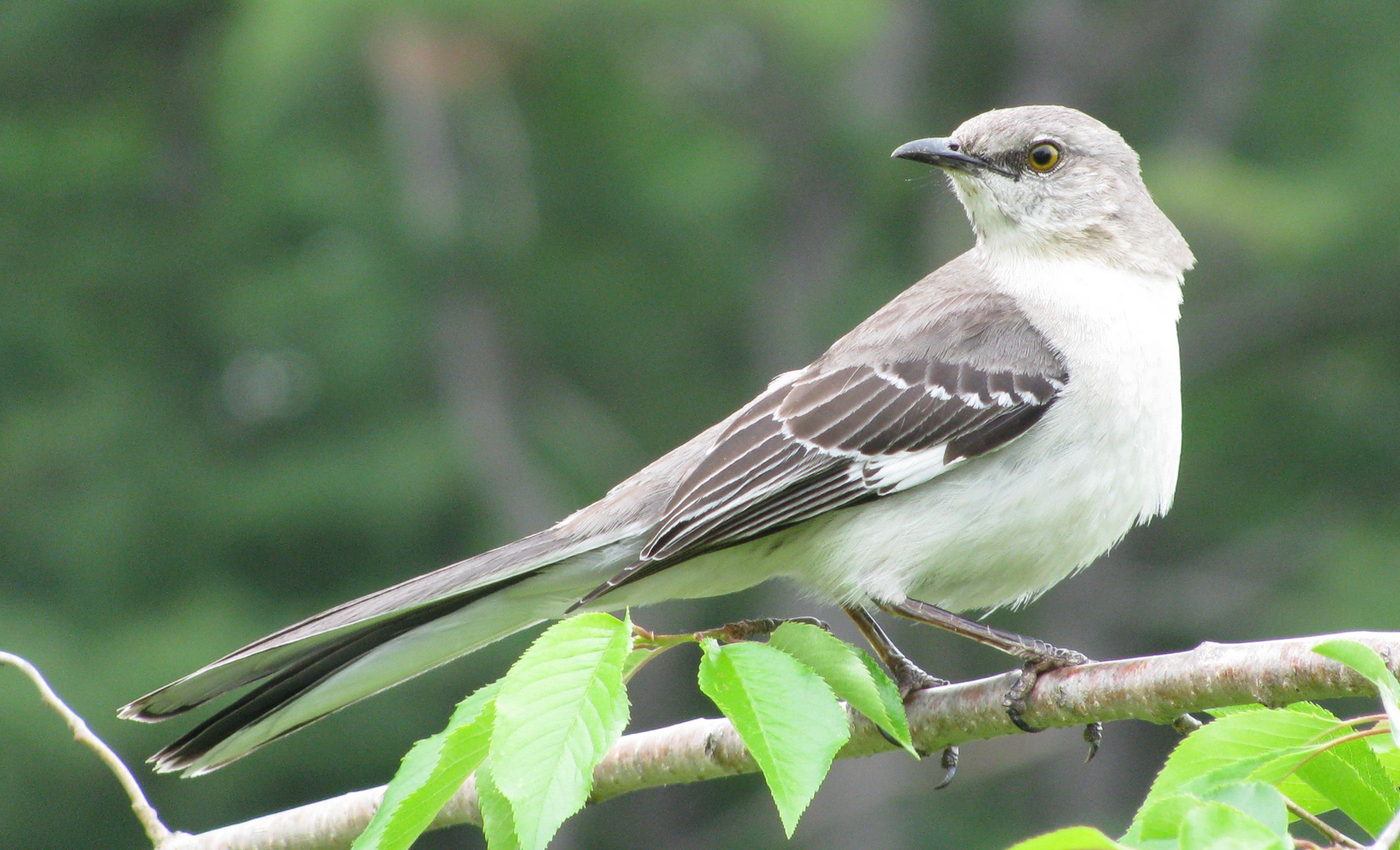 Tennessee state bird tennessee tn state bird northern mockingbird tennessee state bird tennessee tn state bird northern mockingbird buycottarizona Images