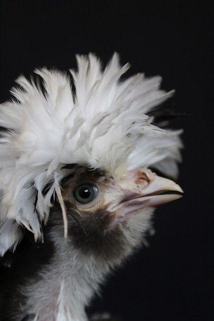 A Chicken A Day | Chicken breeds, Homestead chickens