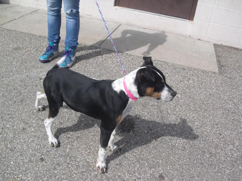 This Is A Female Terrier Mix Black And White And Tan Short Hair And A Medium Size Friendlyour Adoption Fee Is 72 00 And Includes The S Dogs Terrier Mix Pup