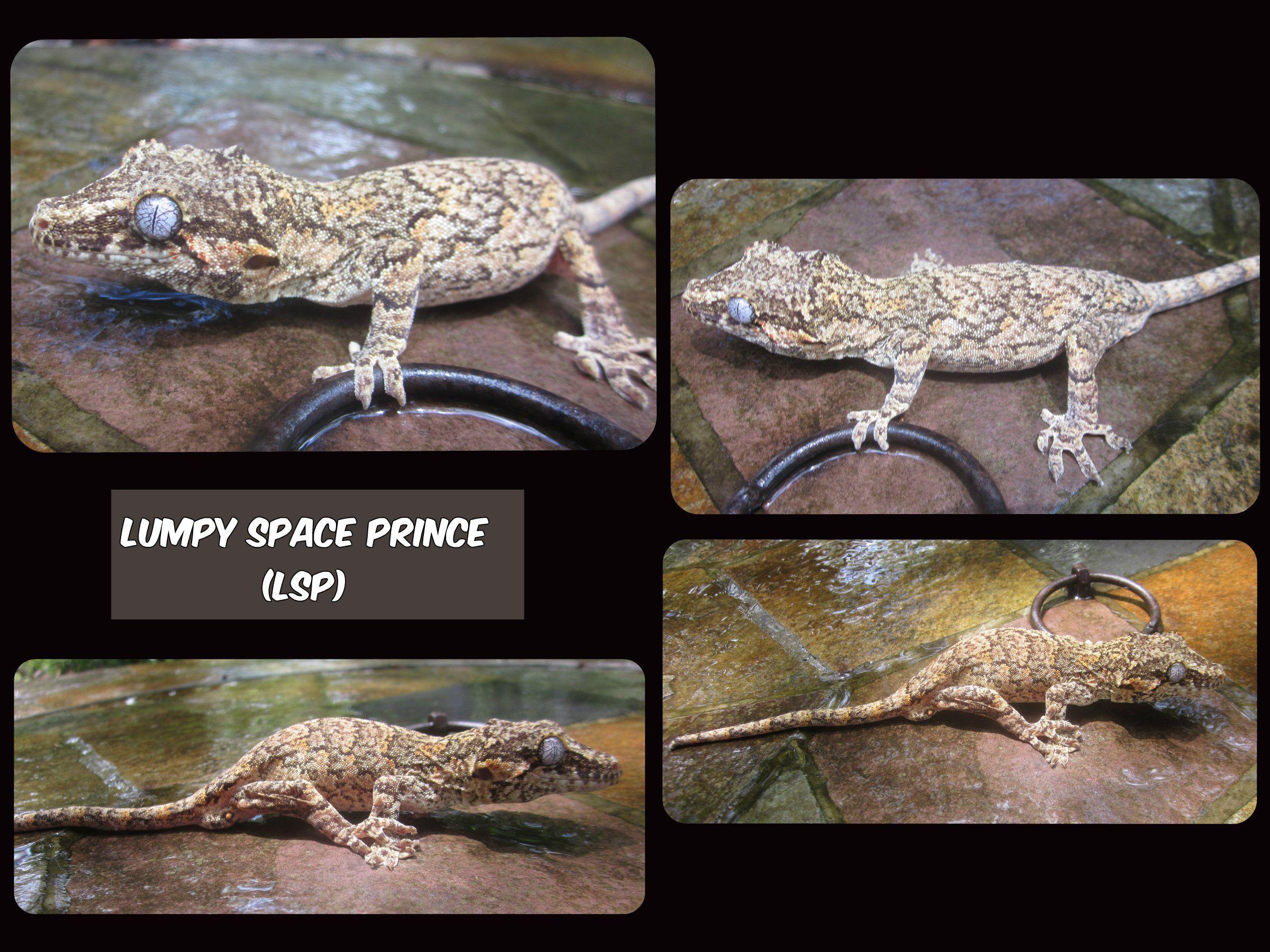LSP, male Gargoyle gecko owned by Sierra Mason Coe