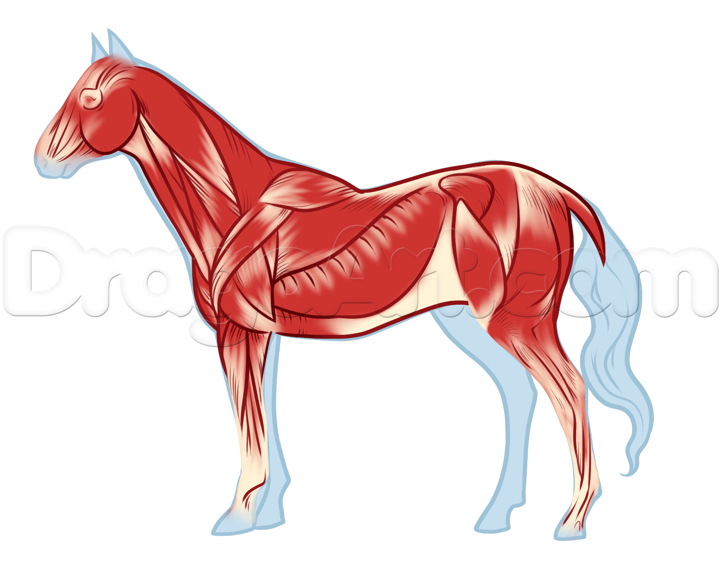 Horse Anatomy Drawing, Step by Step, Pets, Animals, FREE Online ...