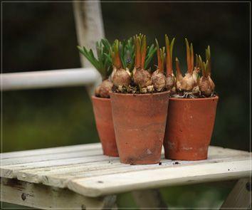 bulbs in pots