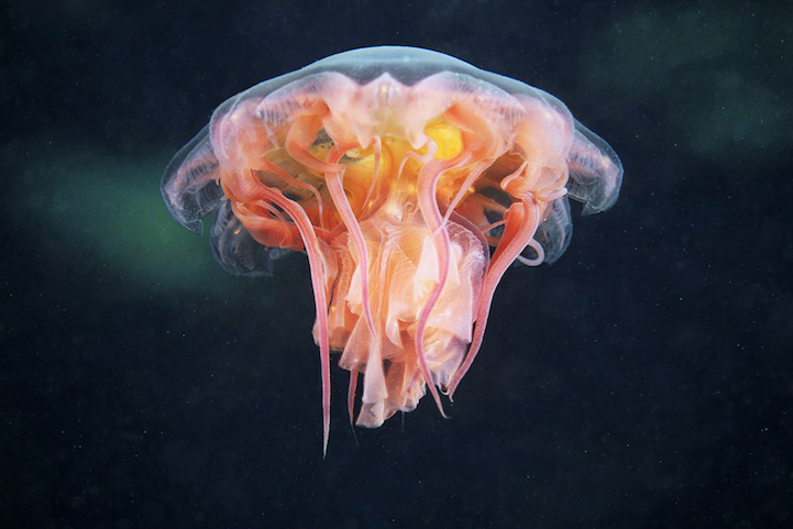 """Jellyfish"" by Alexander Semenov"