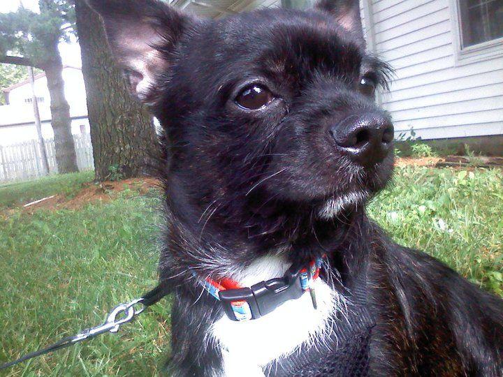 Baby Rocky Boston Terrier Yorkie Mix A Lovebug Yorkie