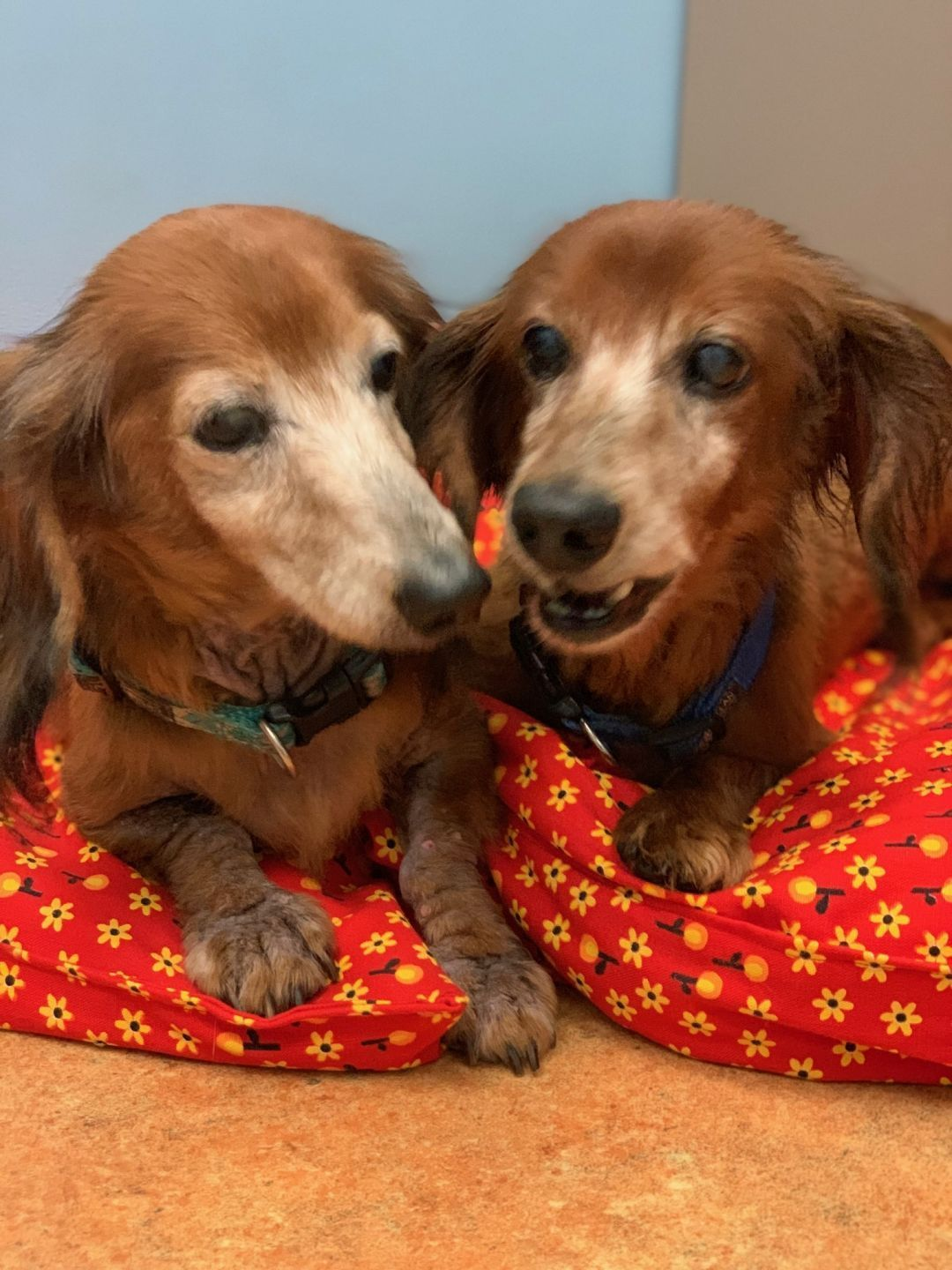 Bo and Luke, an adoptable Dachshund pair in Miami Beach