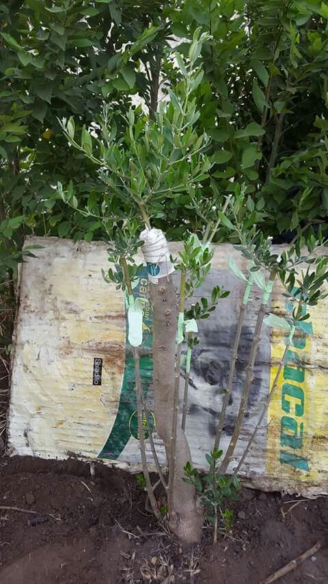 7 Acodos E Injertos Olivo Injertos De Plantas Plantas Jardinería