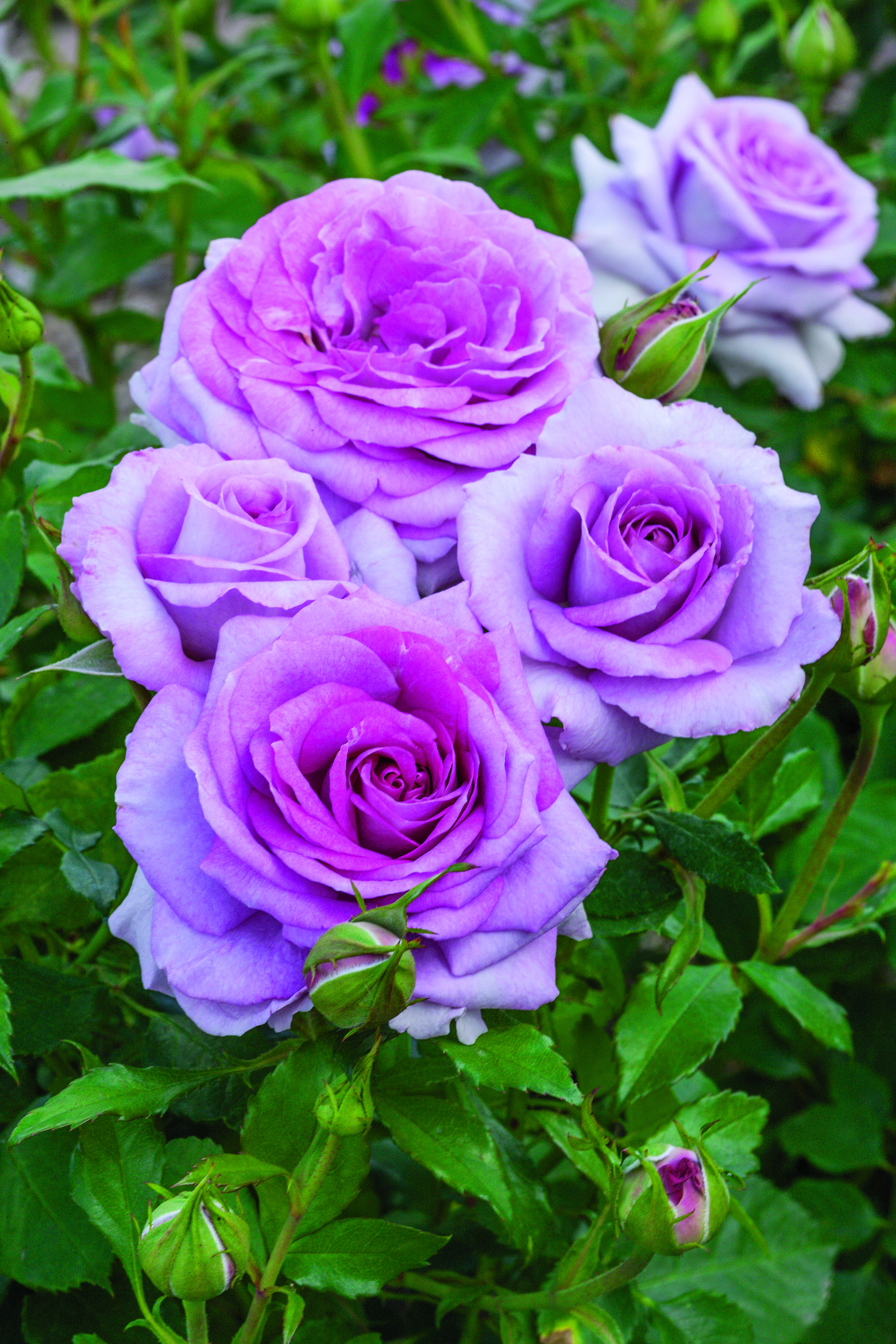 New, fragrant and diseaseresistant roses are now