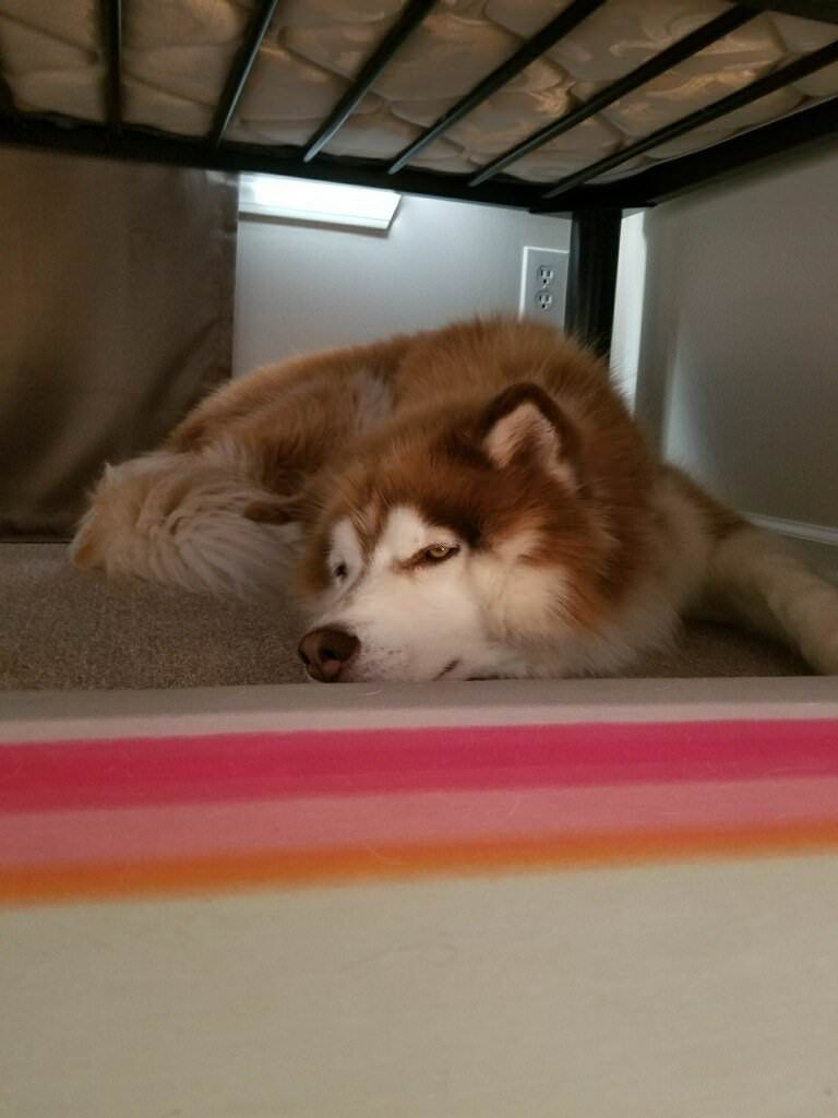 Being a husky is tough sometimes submitted by