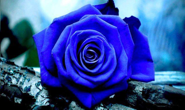Rosa Azul Un Amor Eterno Blue Roses Wallpaper Blue Flower Wallpaper Rose Flower Wallpaper Blue rose wallpaper hd