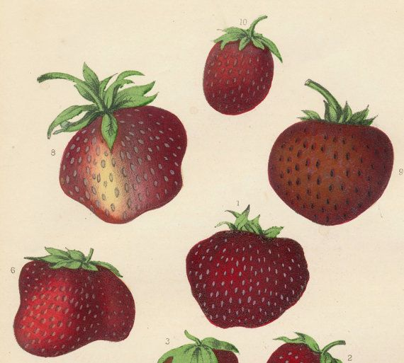 0e78f5b173ba 1859 Very Rare Vintage Botanical Print of Strawberries - Chromolithograph