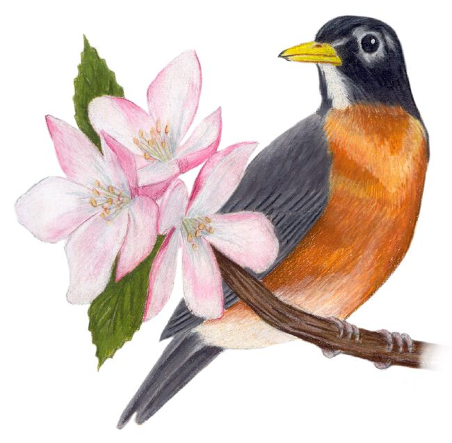Michigan State Bird And Flower American Robin Us Migratorius