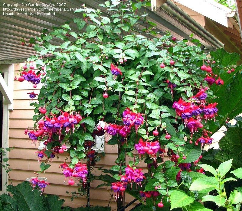 Cant Wait For My Fuchsia Dark Eyes To Look Like This Fuchsia Plant Plants Fuchsia Garden