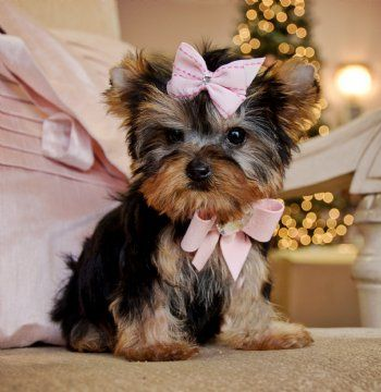 Tiny Teacup Yorkie Princess 16oz At 13 Weeks 4 500 00 For Sale So Sweet Just Precious Yorkie Puppy Yorkshire Terrier Puppies Teacup Yorkie Puppy