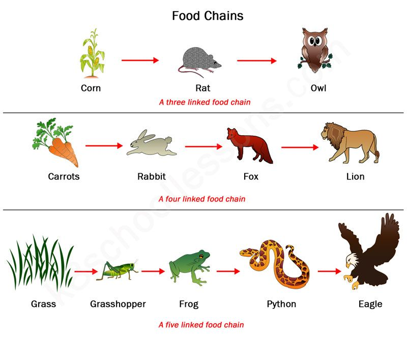 Undestanding and examples of food chain education.